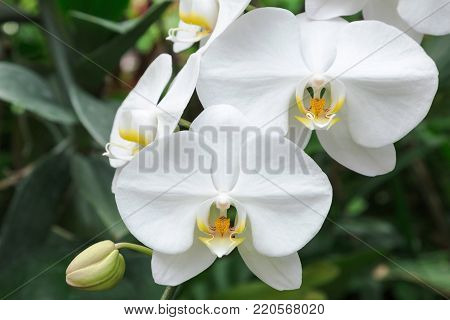 Orchid flower in orchid garden at winter or spring day for postcard beauty and agriculture idea concept design. Phalaenopsis aphrodite Orchidaceae (Moon Orchid, Moth Orchid, The Lovely Phalaenopsis).