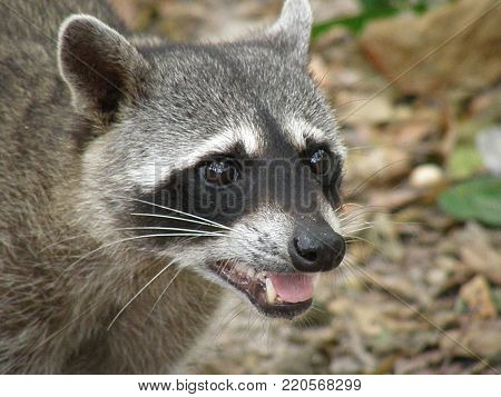 Compelling face of a raccoon in the rain forest of Costa Rica.