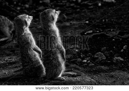 The meerkat or suricate, Suricata suricatta, is a small mammal belonging to the mongoose family. Monochrome