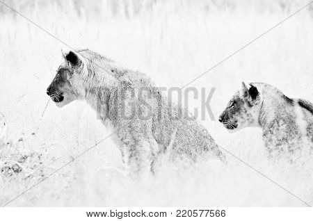 Two monochrome lion cubs between grass in the Kalahari