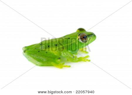 Spotted Emerald Glass Frog
