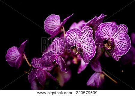 Spray of exotic colorful purple Phalaenopsis orchids against a dark shadowy background