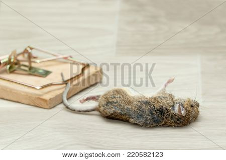 Closeup dead mouse caught in mousetrap on gray floor inside in house apartment