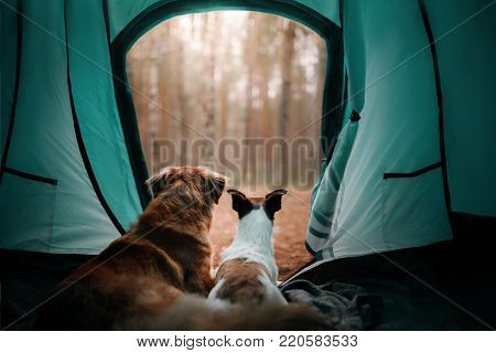 Two dogs in the tent. Jack Russell Terrier and Nova Scotia duck tolling Retriever. Friends tourists