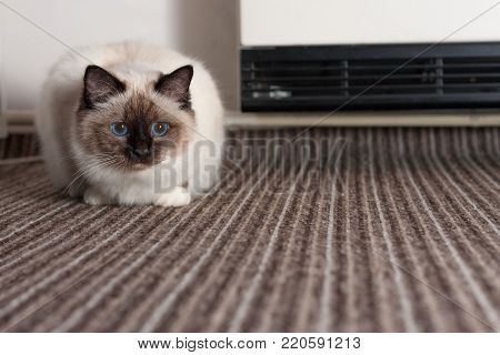 A seal point Birman cat, 9 month old cat , male with blue eyes is lying on carpet