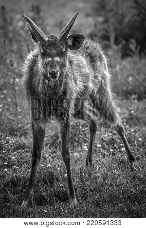 Bongo antelope standing startled and alert monochrome black and white image