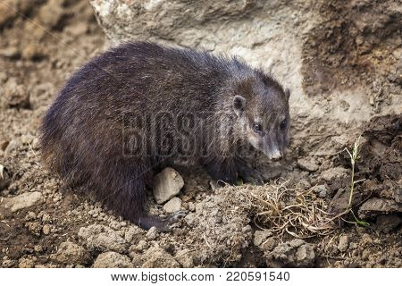 Cusimanse mongoose (kusimanse mongoose) aslo known as the long nose kusimanse which is found in most of the West Africa countries