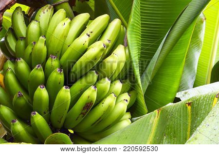 Bunch of green bananas growing in a tropical garden on Tenerife,Canary Islands,Spain. Unripe bananas.Selective focus. poster