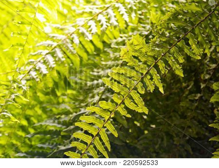 Nephrolepis exaltata (Boston fern, Sword fern,Bostoniensis) a species of fern in the family Lomariopsidaceae.Tropical plant for background.Selective focus.