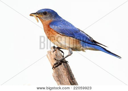 Isolated Bluebird On A Perch With A Worm