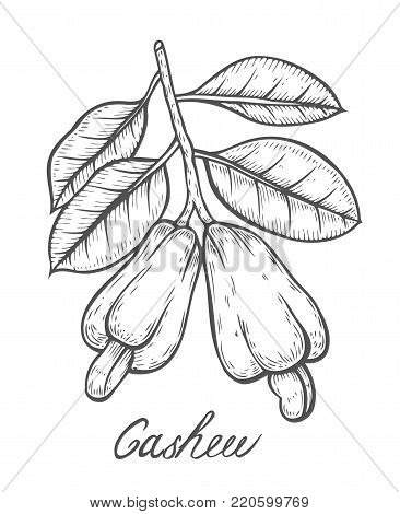 Hand drawn Cashew nut seed plant vector. Cashew butter food ingredient. Engraved hand drawn illustration in retro vintage style. Organic Food, cosmetics, treatment component. Isolated on white background.