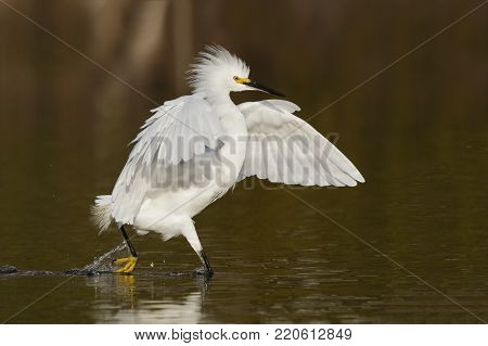Snowy Egret Stalking A Fish In A Shallow Lagoon - Fort Myers Beach, Florida