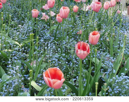 Lively pink tulips. Flowers in the sensational colors. It is pleasant, it representative the summer, the enjoyment, the good mood, the cheerfulness.
