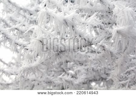 frosty spikes on a tree in winter