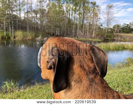 Brown boxer dog in cypress swamps of the South