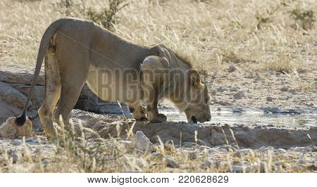 Lion male drinks water from a pond in the dry Kalahari