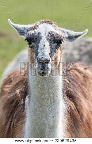 Llama (Lama glama) portrait. Unusual farm animal looking at camera.