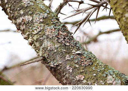 spikes on a branch of a pear tree, in the winter without leaves, horizontally