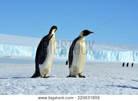 Antarctic. Sunny day. Snow cover.Emperor penguin chick. Close-up