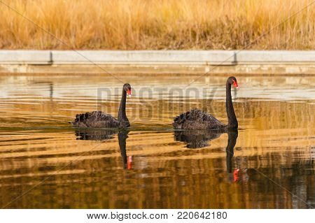 a rare exemplary of black swan exsisting in Italy  / It is a water selvatic bird with black plumage and a red beak with a white tip
