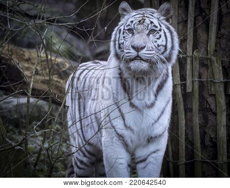 The beauty of great snowy white Bengal tiger