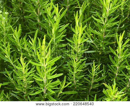 Rosemary growing in the garden. Rosmarinus officinalis herb for background.Selective focus.