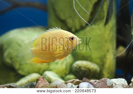 Electric Blue Jack Dempsey's For Sale, freshwater fish, fish and Aquariums