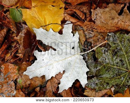 autum yellow scale white leaves melanholy nature