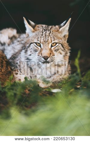 Young Eurasian Lynx Lying Down In Grass Looking Towards Camera.