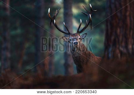 Red Deer With Pointed Antlers Scratching Tree Trunk In Misty Forest.