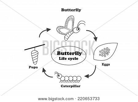 Butterfly life cycle in outline style for coloring , vector