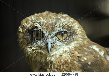 close up of a boobook owl