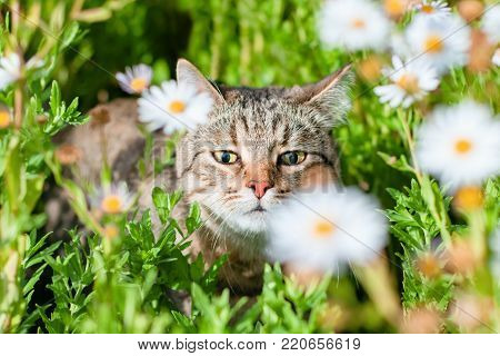 beautiful happy tabby cat walks in the bright sunny grass and sniffing the chamomile flowers under the warm rays of the summer sun animal pet sweet background nature wallpaper.
