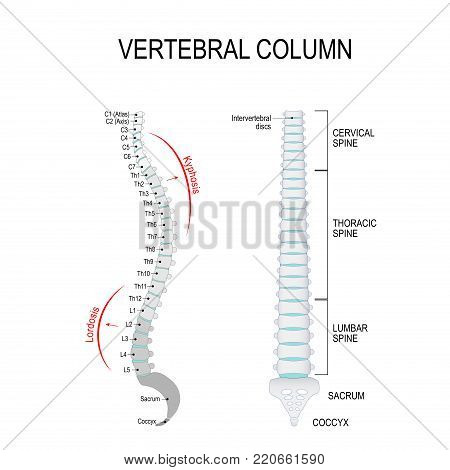 Vertebral column: cervical, thoracic and lumbar spine, sacrum and coccyx. Kyphosis, and Lordosis. Numbering order of the vertebrae of the human spinal column. Vector diagram for medical use