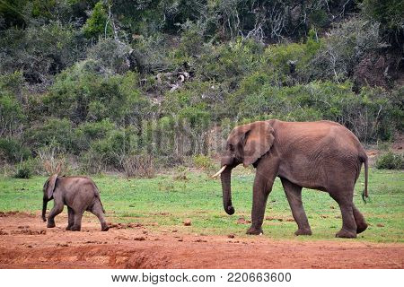 Elephant and her baby in a water hole in the Addo Park of South Africa