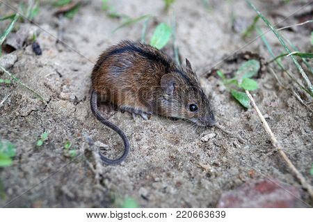 A small wild field mouse poses for a photo (Apodemus agrarius)