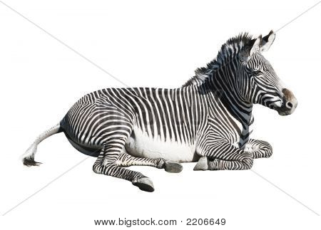Grevy'S Zebra Resting Over White Background