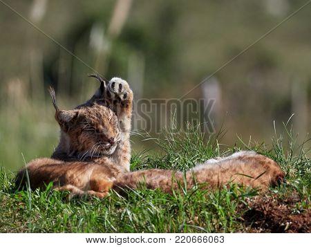 Eurasian Lynx outdoor; Wild animal hidden in nature habitat (lynx lynx)