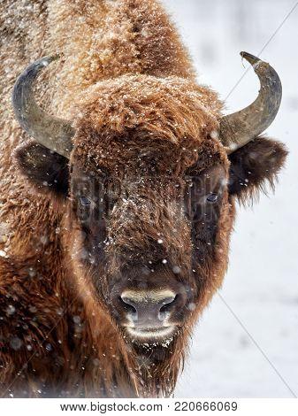 European bison (Bison bonasus) in natural habitat in winter - close-up portrait