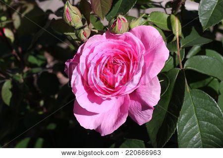 English rose in Carmel, California. USA.
