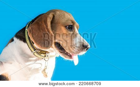 Puppy Dog, animal and pet, small cute beagle on blue background with copy space for text