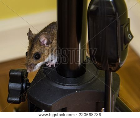 The side view of a wild brown house mouse peeking out from behind black electrical equipment.
