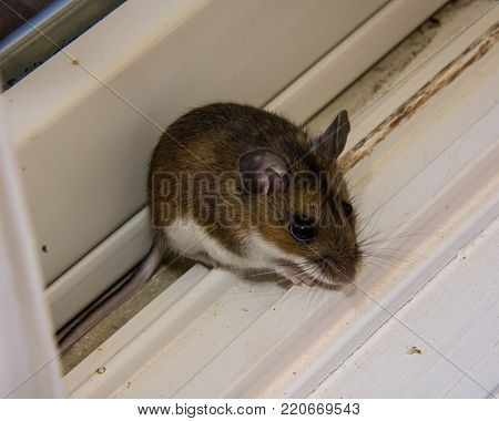 The side view of a wild brown house sitting hunched on a dirty white windowsill.