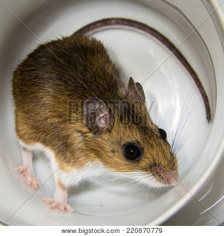 A close up of a wild brown house mouse inside of a white porcelain tea cup.