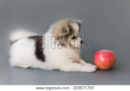 Closeup cute pomeranian dog eating red apple on grey background, pet health care concept