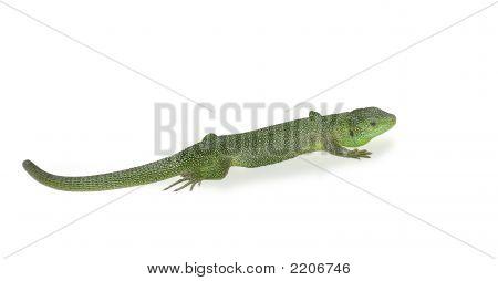 Green Lizard W/ Path
