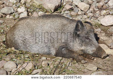 Female wild boar sleeping on the ground. Animal background. Horizontal
