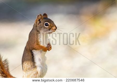 Clever little American Red Squirrel (Tamiasciurus hudsonicus) stands with hands together against a muted palette background poster