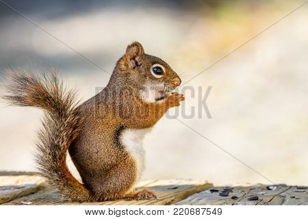Clever little American Red Squirrel (Tamiasciurus hudsonicus) enjoys a snack on wooden planks against a muted palette background