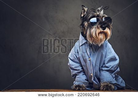 Studio portrait of fashionable schnauzer dogs dressed in a blue shirt and sunglasses.